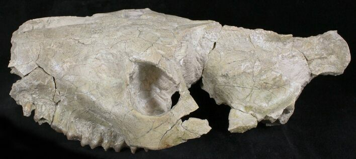 "Large8.3"" Oreodont Partial Skull - Wyoming"